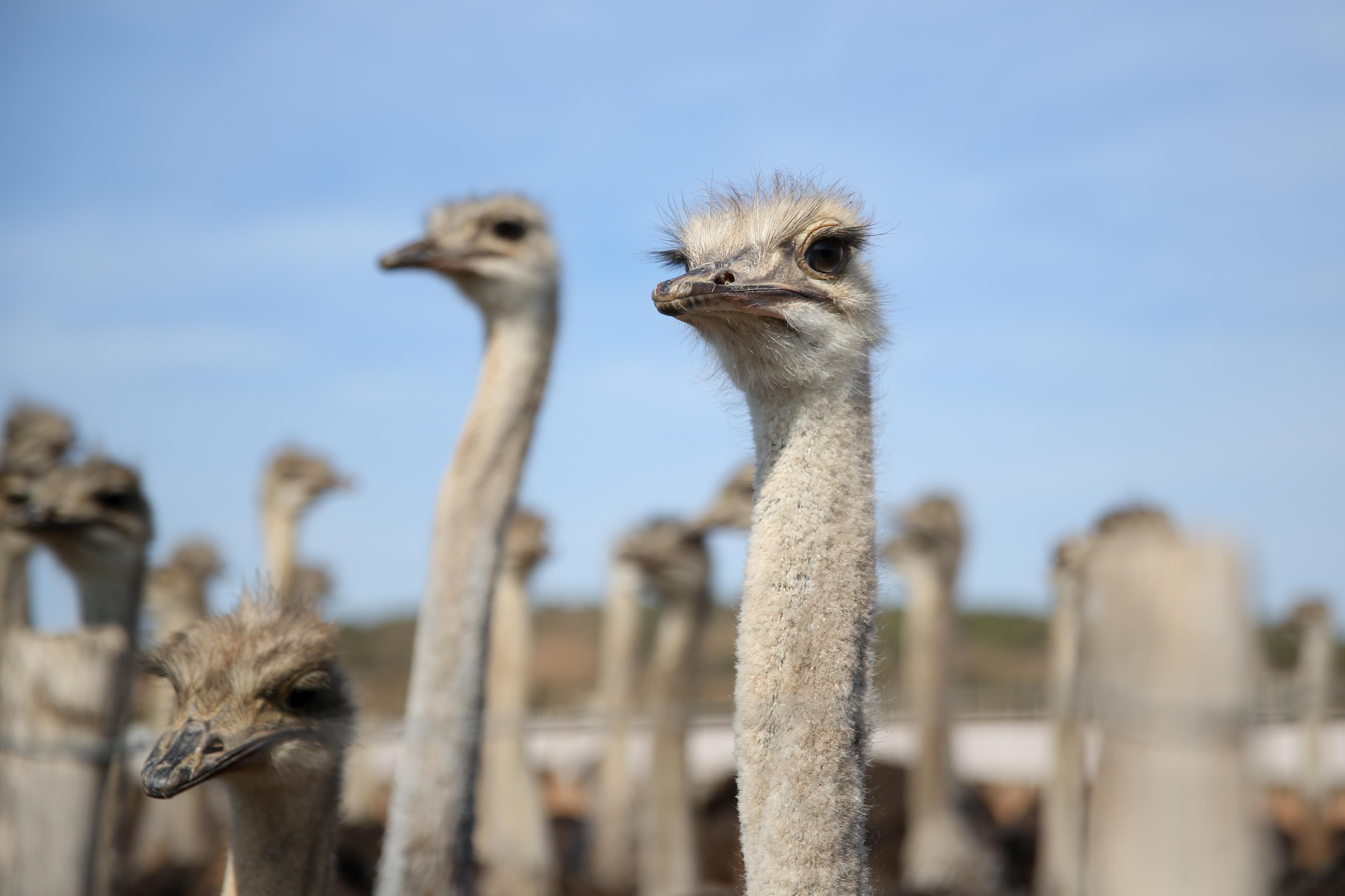 De Opstel Ostrich Encounters